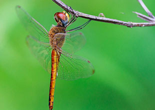 Dragon fly Click by Hiten Rajgor